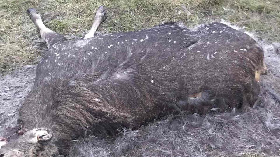 На Любешівщині знайшли застреленого лося. Триває розслідування