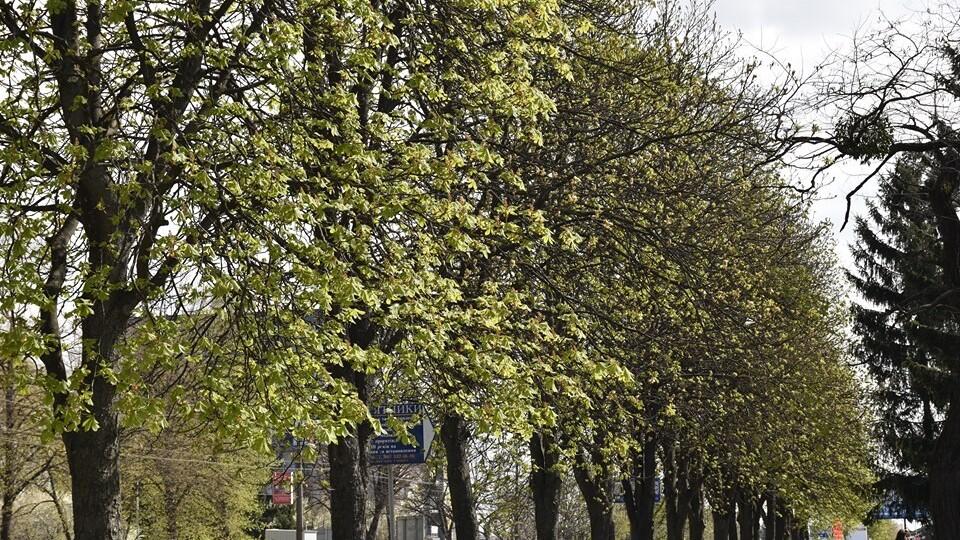 У Луцьку буде інтерактивна мапа зі старовіковими деревами
