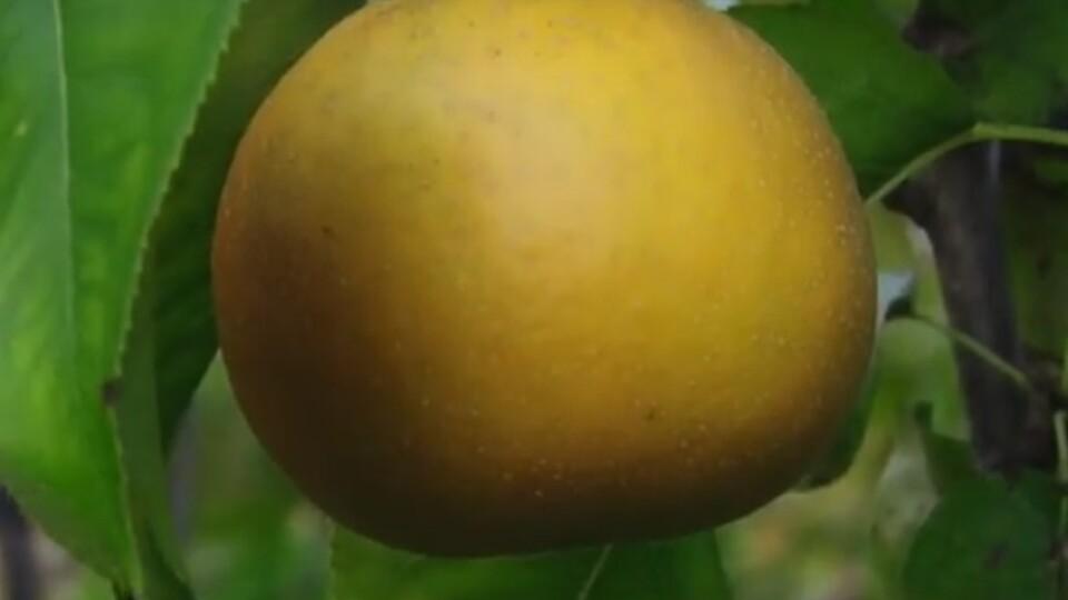 Груші-помідори зі смаком ананаса. Волинянин виростив рідкісний фрукт