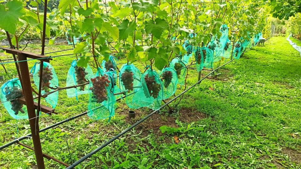 «Вирощувати виноград у п'ять разів вигідніше, ніж картоплю», – волинський аграрій