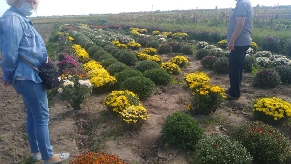На Волині родина на 5 сотках вирощує понад 80 сортів хризантем