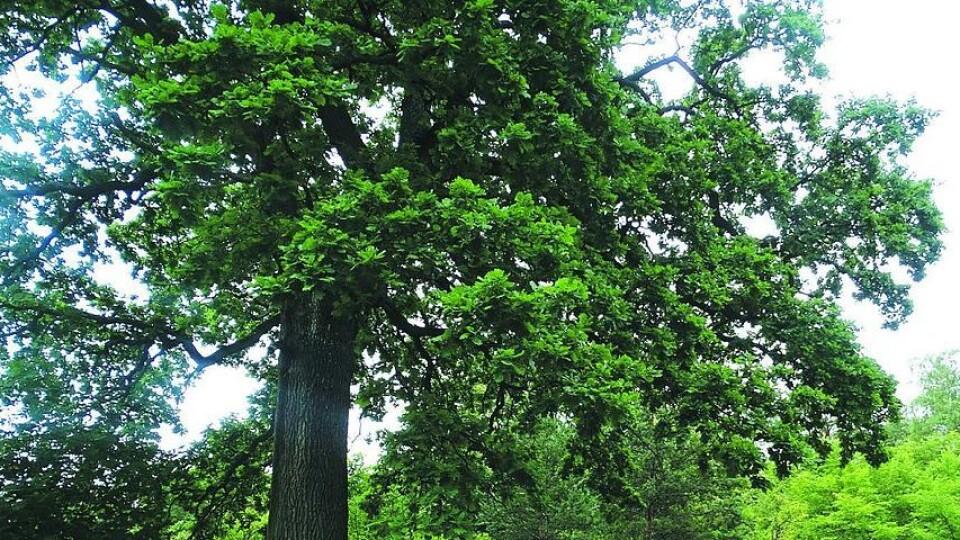 У селі на Волині росте дуб, якому більше років, ніж самому селу