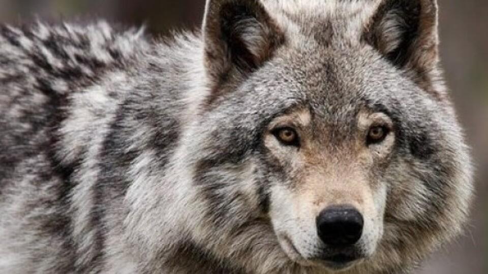 У лісах на Старовижівщині мисливці вполювали вовка