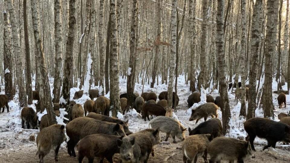 Дикі кабани, олені та фазанарій: як на Волині лісівники розвивають мисливство