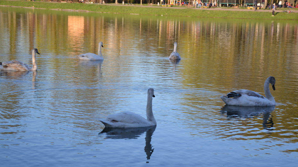 Повернення  додому: на Маневиччині оселилися 12 лебедів. ФОТО