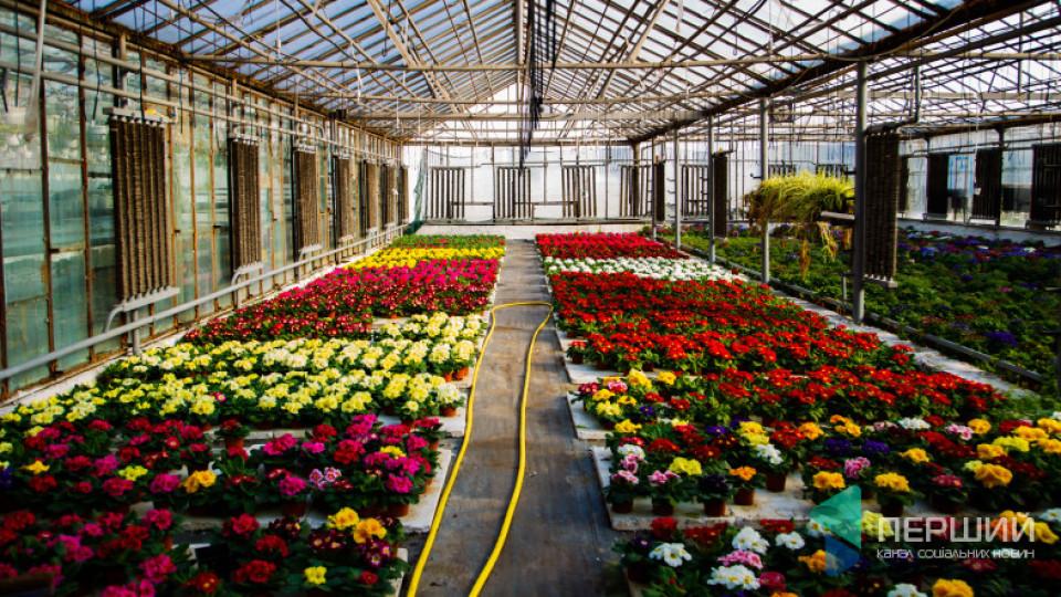 Тюльпани «Ферарі» і гектари світових брендів. Як у Луцьку працює квітковий бізнес. ФОТО