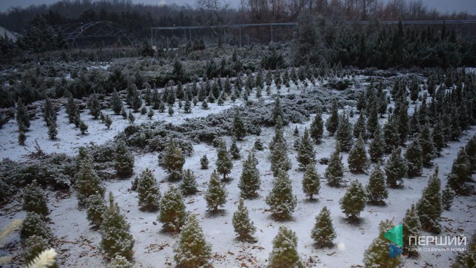 Волинські ялинки знають і на Донбасі. Репортаж з новорічних лісових плантацій