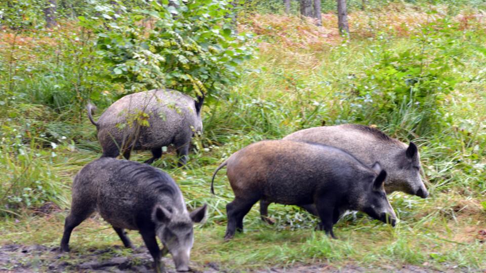 На Волині у ліс випустили 120 оленів та 30 диких свиней, яких виростили в екопарку