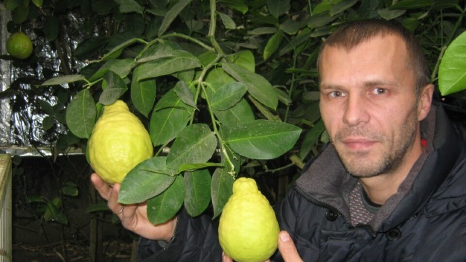 «Лимони» на лимонах. Один із найуспішніших цитрусоводів країни живе в селі на Волині