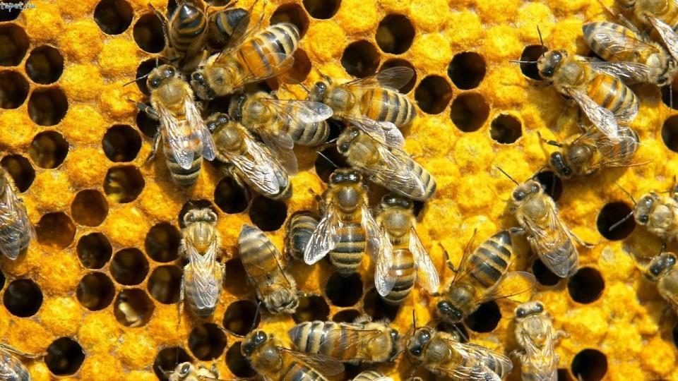 Топ-5 цікавих фактів про бджіл