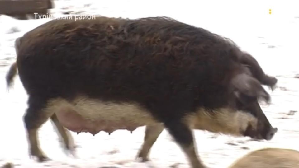 Волинянин розводить різнокольорових свиней. ВІДЕО