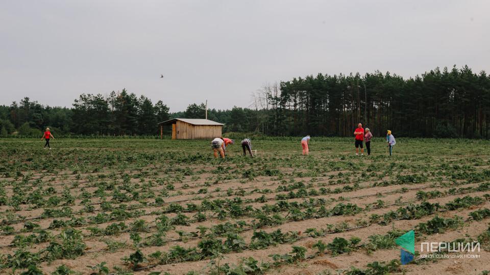 Не їду на трускавки. Як ягоди рятують волинські сім'ї і села від трудової міграції