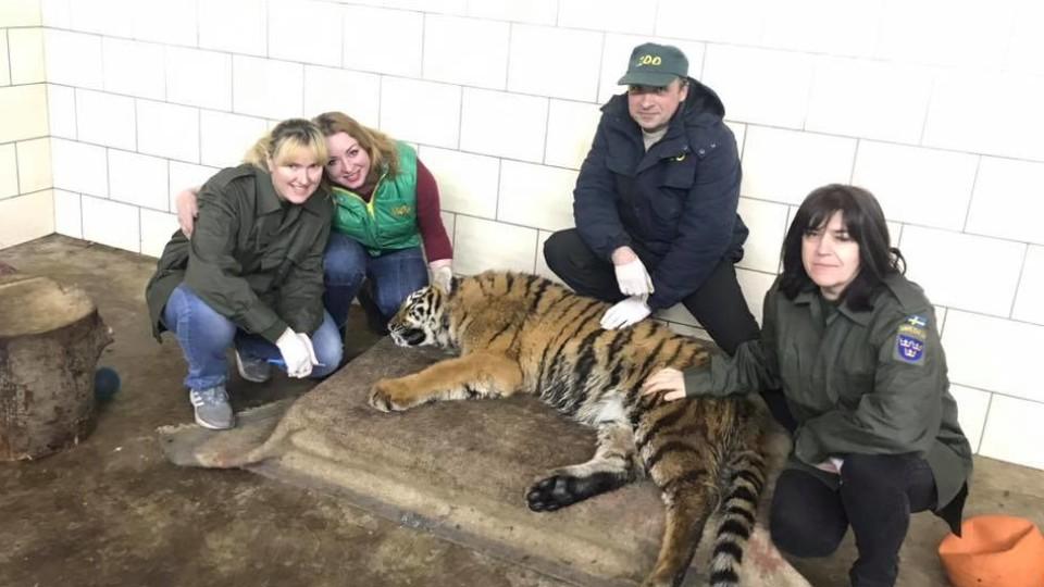 У Луцькому зоопарку влаштували медогляд для тигриці. ФОТО