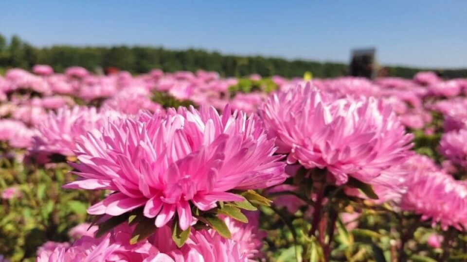 У «Волинській Голландії» продовжили осінній фестиваль квітів