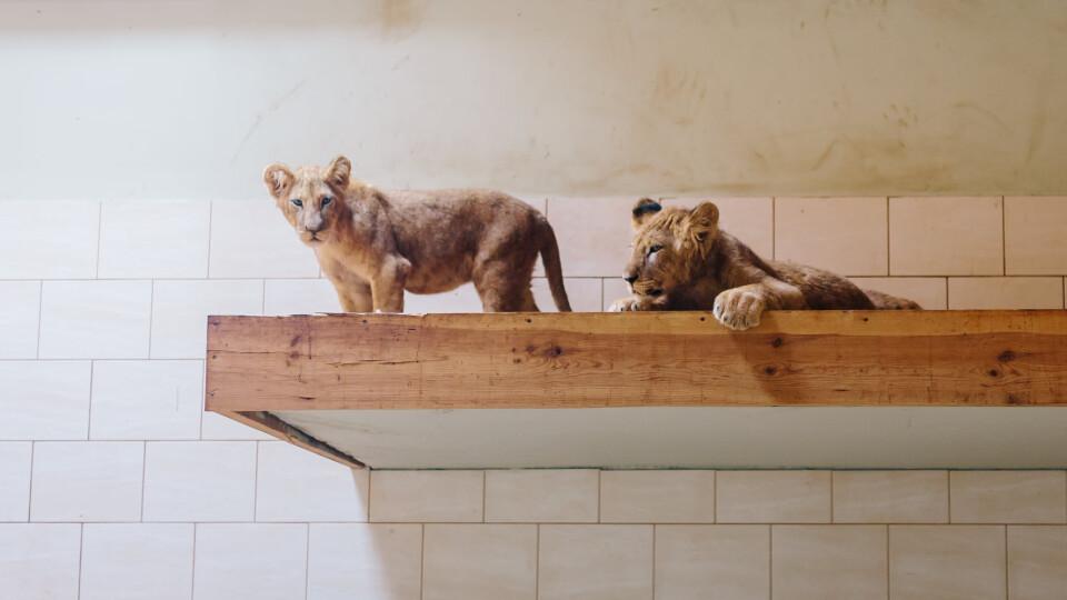 У Луцькому зоопарку формують лев'ячий прайд
