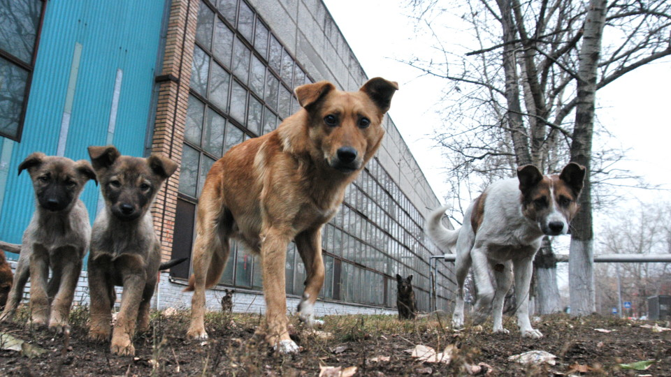 Лучани скаржаться на зграї безпритульних собак у місті