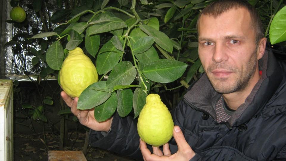 Біля Луцька вирощують лимони, апельсини й мандарини. ФОТО