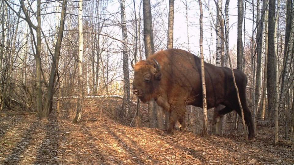 У лісах поблизу Чорнобиля відзняли неймовірні кадри. ФОТО