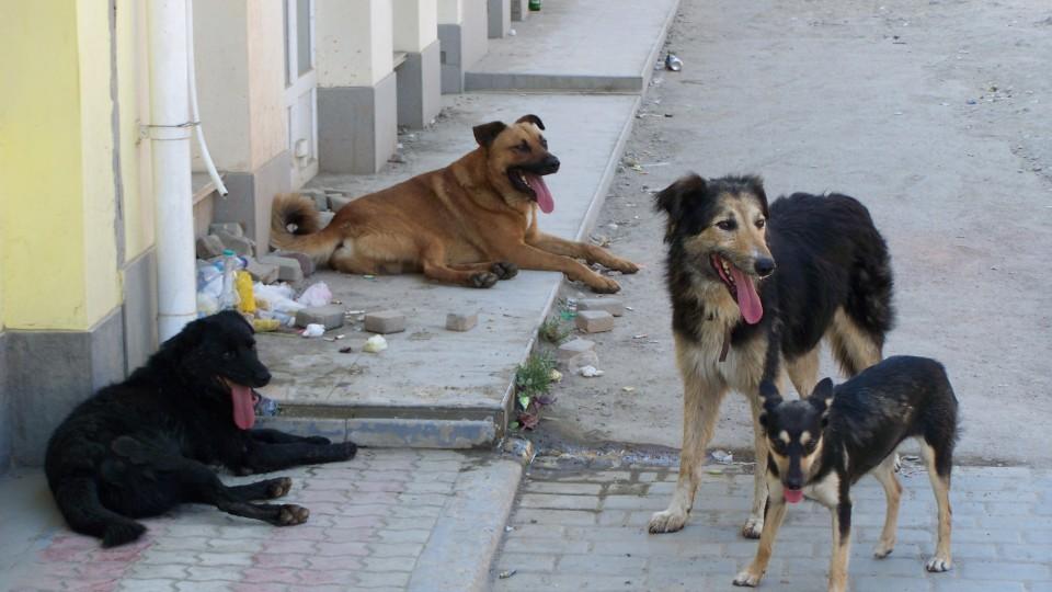 Вулицями Луцька бігають зграї безпритульних псів