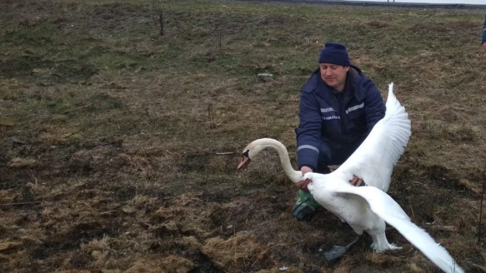 На Волині врятували лебедя, який заплутався в браконьєрських сітках. ФОТО