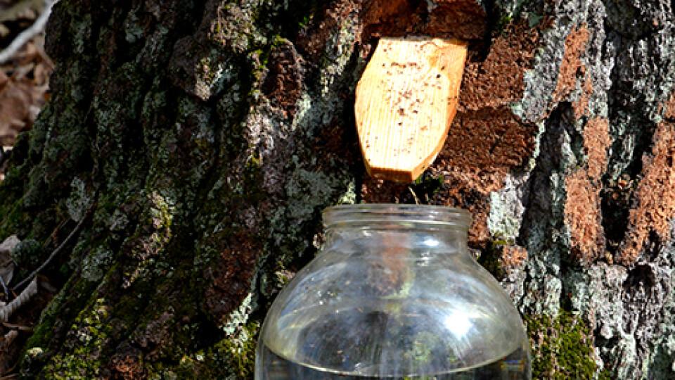 Де на Волині можна придбати свіжий березовий сік від лісівників. Список