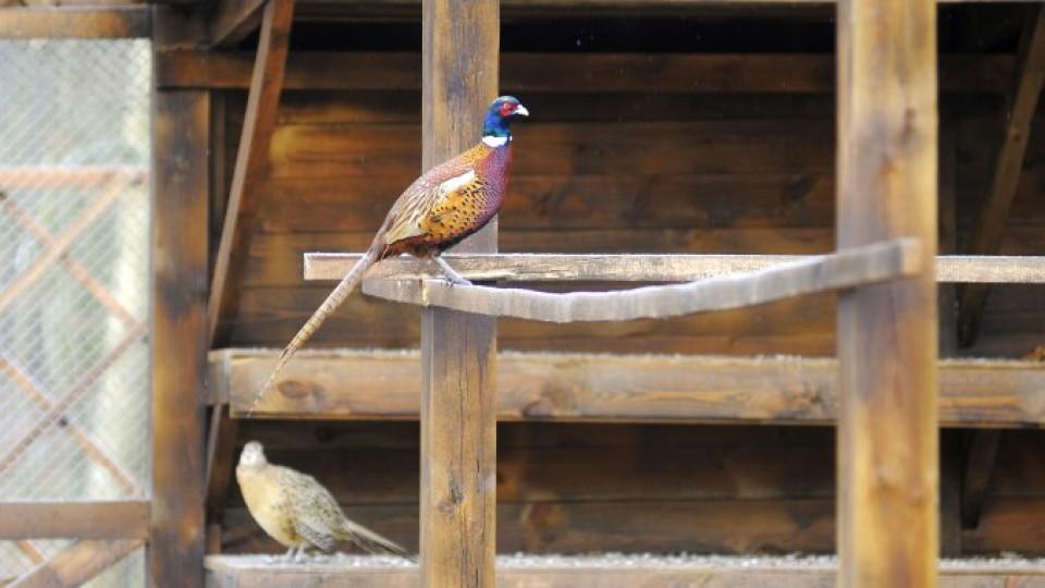 У волинському лісництві почали розводити фазанів. ФОТО