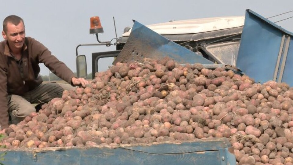 На Волині триває сезону збору овочів. Як вродили