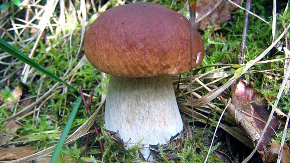 У грибах із Маневицького району виявили високий вміст радіації