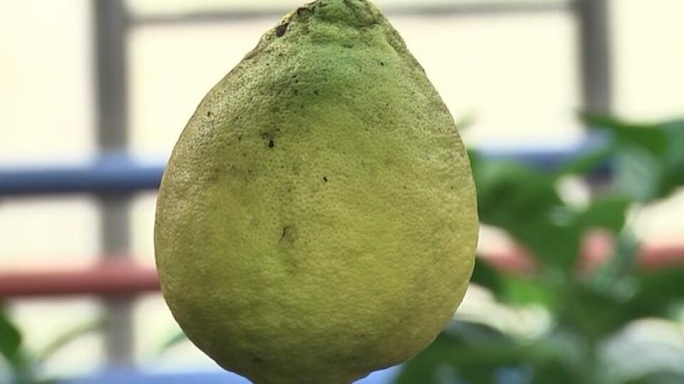 Один плід – понад пів кілограма. На Волині лісівники вирощують гібридні лимони