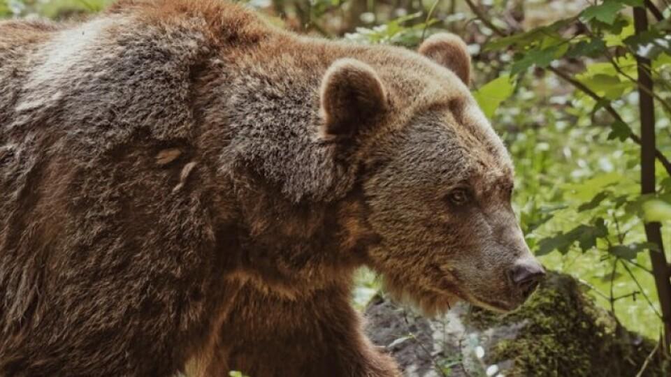 У лісі на Волині знову бачили сліди ведмедя