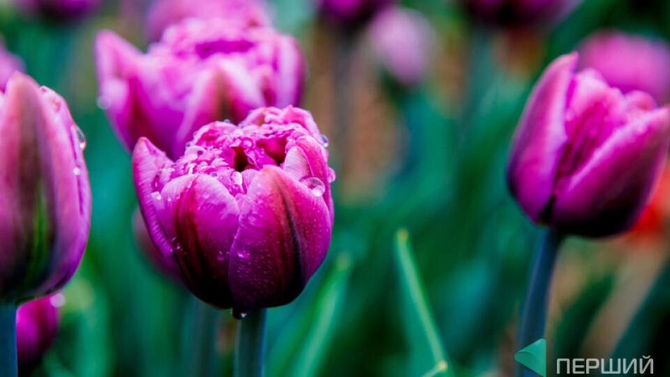 Сьогодні - останній день фестивалю тюльпанів на Волині