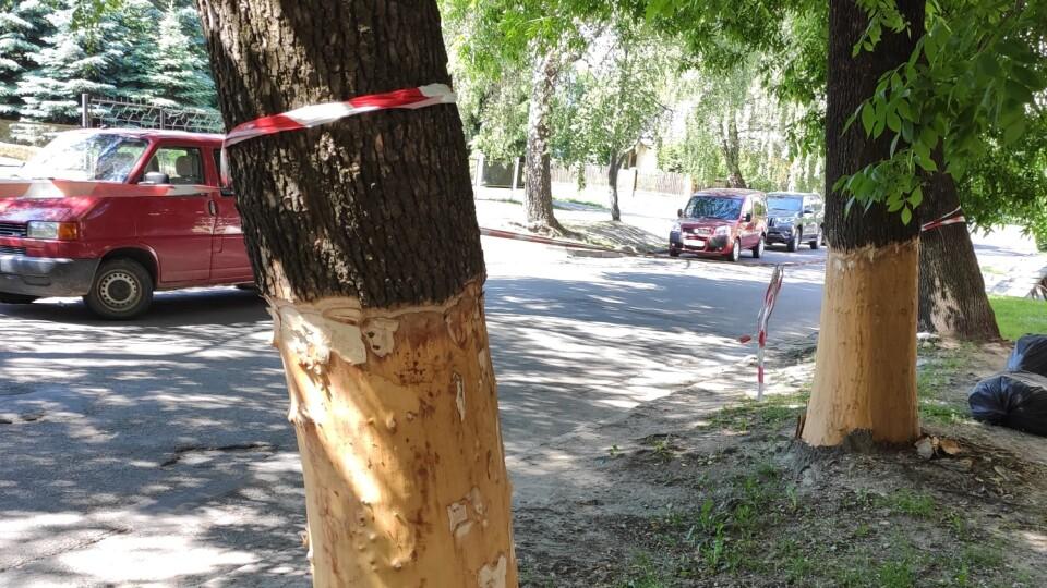 На одній з вулиць Луцька вандали зрізали кору з ясенів
