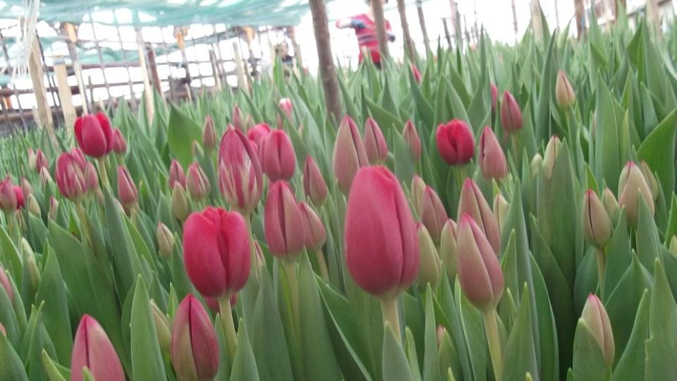 Голландські тюльпани до жіночого свята вирощують на Волині. ФОТО