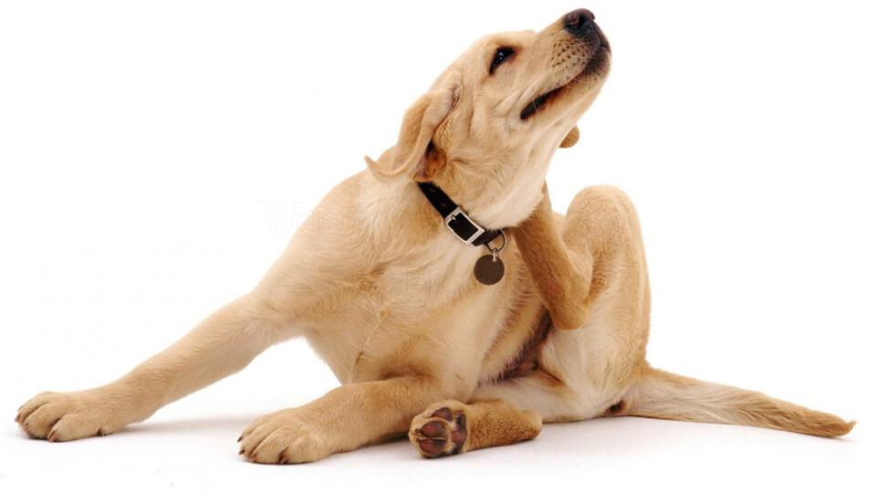 Блохи у собаки : чим це загрожує людям