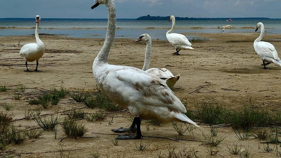 На Світязь прилетіли лебеді. Фото
