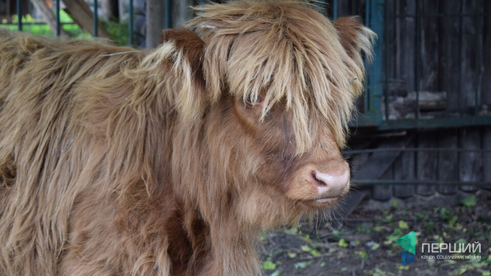 «Ми називаємо її мамонтеням»: у луцькому зоопарку оселилась шотландська корова