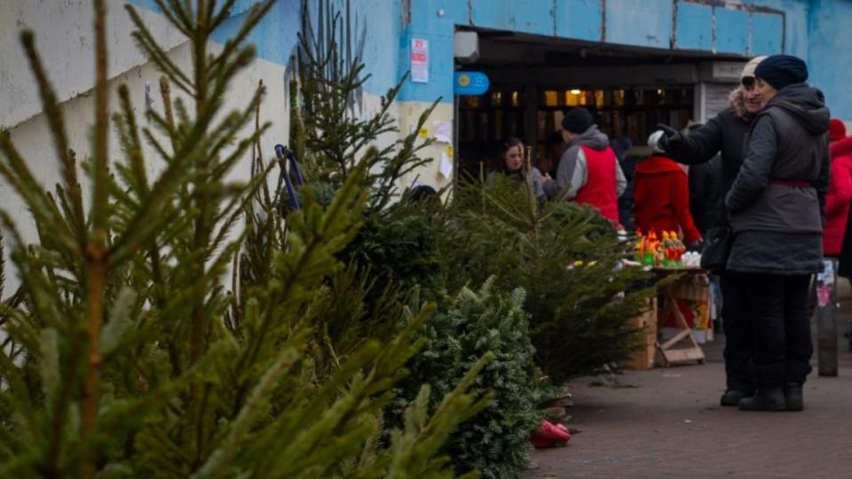 Як у Луцьку отримати дозвіл на продаж новорічних дерев