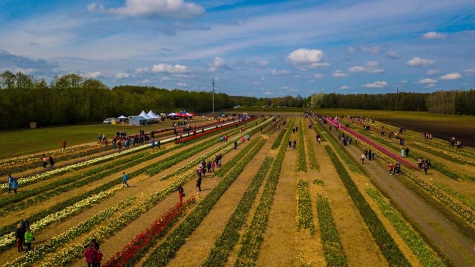 Як виглядав фестиваль тюльпанів  на Волині з  висоти