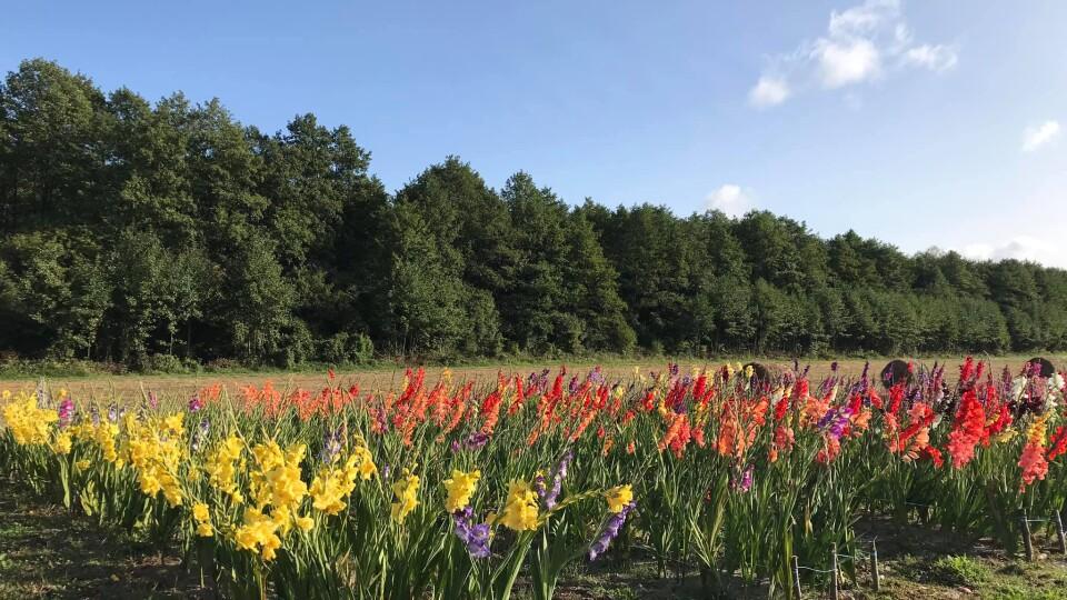 Осіннє свято квітів: «Волинська Голландія» працюватиме ще чотири дні