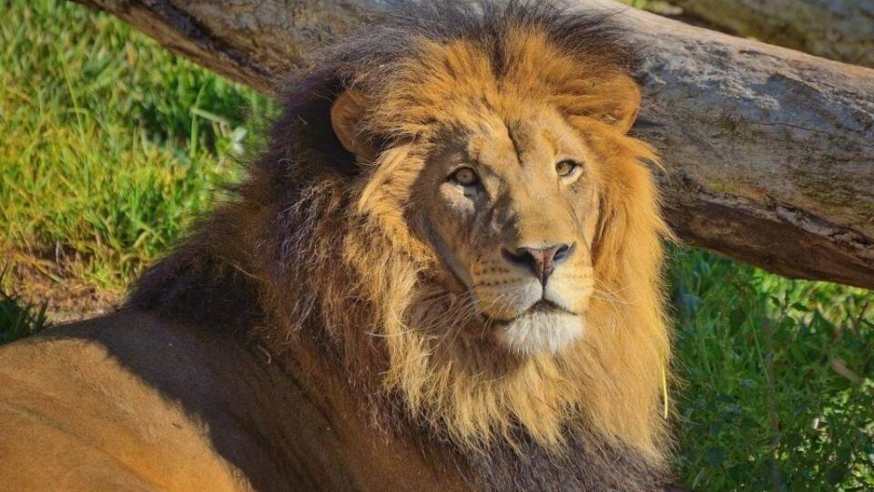 У Луцькому зоопарку незабаром може знову з'явитися лев