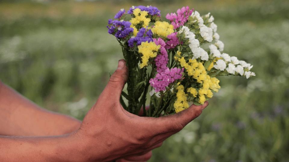 У селі під Луцьком вирощують яскраву квітку півдня
