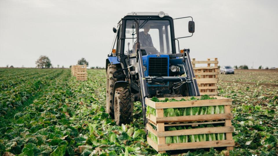 Капустяний бізнес. Як у селі біля Луцька вирощують «пекінку»