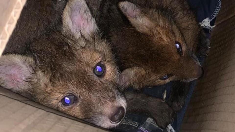 Ціна життя – 300 гривень. Як волинянка врятувала маленьких лисенят