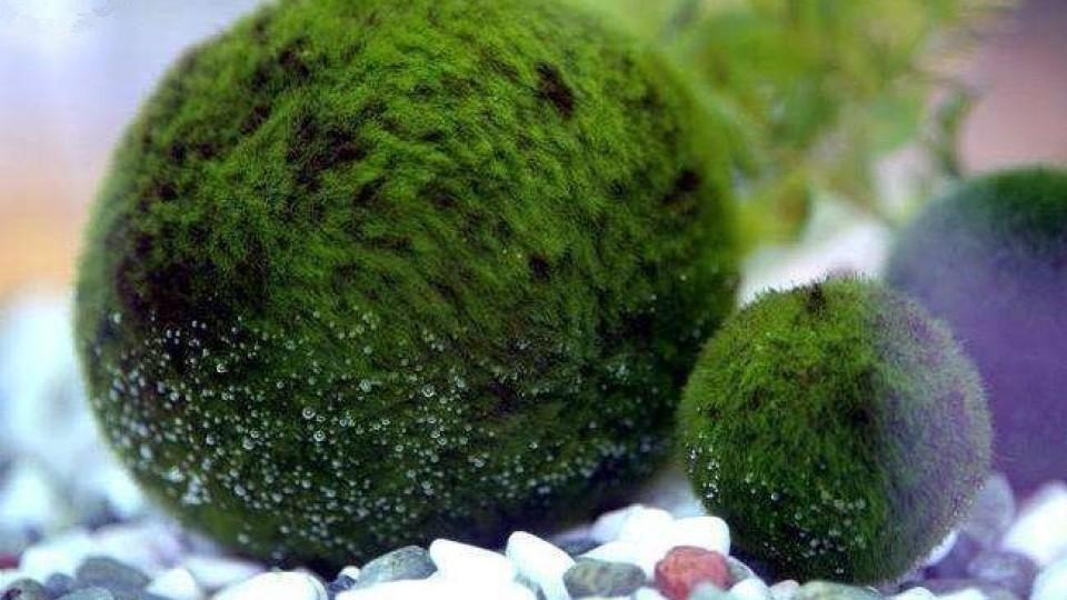 Світязь може стати болотом, бо з нього виловлюють унікальні водорості. ВІДЕО