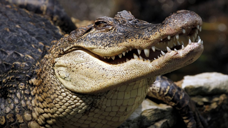 У США в парку розваг батька з сином мало не з'їли алігатори