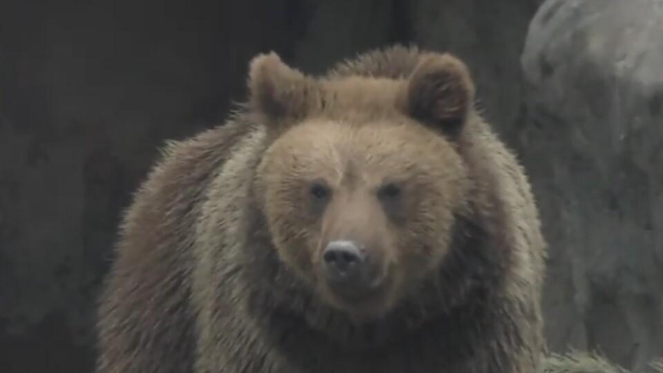 Ведмедям не до сну. Як зимують мешканці Луцького зоопарку