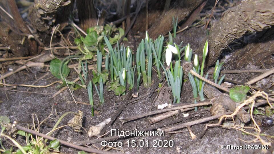 «Може, уже й ластівоньки прилетіли?» На Волині серед зими цвітуть підсніжники, фіалки і примулки