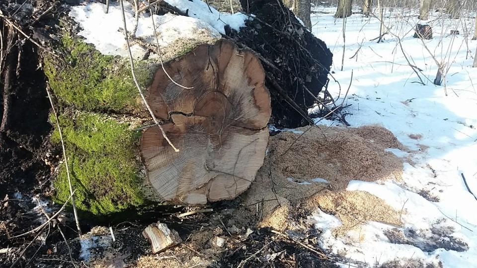 На Волині зловили людей, які вирізали лісу на 30 тисяч гривень