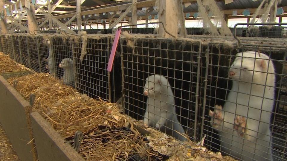 В ОДА говорили про норкову ферму на Волині. Кажуть, усе законно. ФОТО