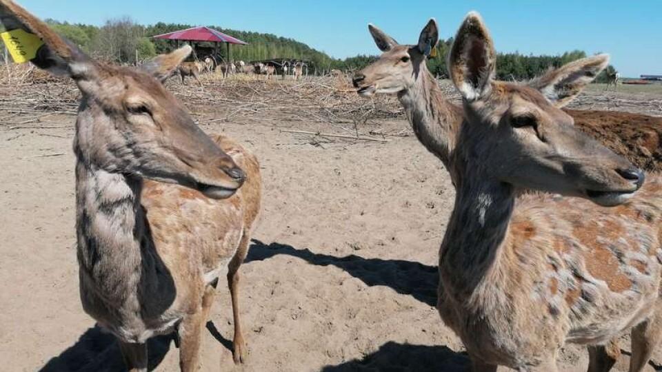 На ферму у Ковельському районі привезли дві сотні оленів з Прибалтики